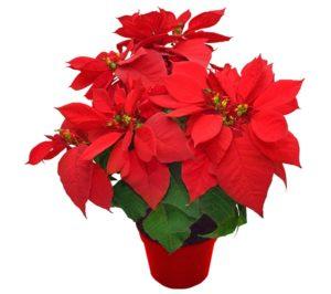 Vánoční hvězda - květina